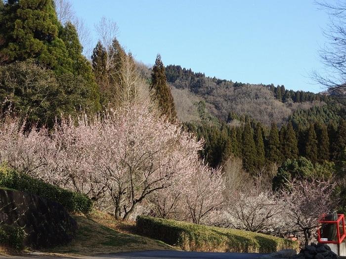 豊後大野市朝倉文夫記念公園の梅の花が見頃となりました